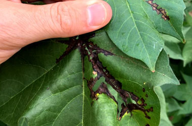Black streaks of bacterial blight e1516731860478 - Identification and Management of Bacterial Blight of Cotton